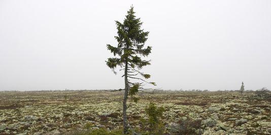 1783632-3-77e1-le-plus-vieil-arbre-du-monde-a-fulufjallet-64127d18cf6bedb646d0d3088069e8b5.jpg